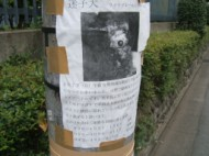 Missing Toy Poodle